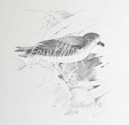 (PD3)Gould's Petrel76x51cm$60