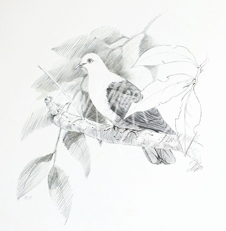 (PD18)White-Headed Pigeon76x51cm
