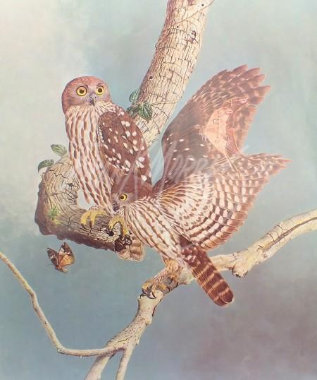 (PR01) Barking Owls 75 x 64 cm $60 (PRINT ONLY)