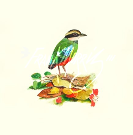 (YPS8)  Green-breasted Pitta  38x46 cm