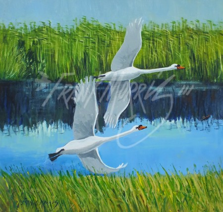 (Y794)  Mute Swans, Broome Pond  29x30 cm $300