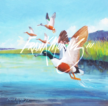 (Y796) 28x28 cm  Northern Shoveler flying with the locals  $300