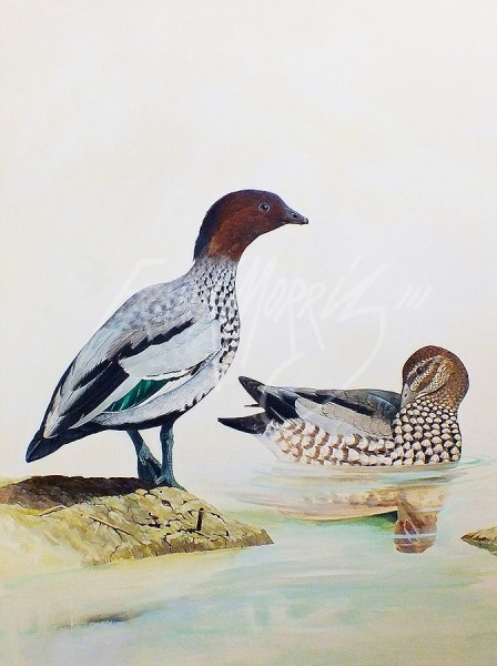 (278) Wood Ducks  71x61 cm