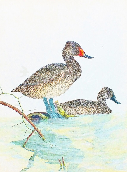 (283)Freckled Ducks81x61cm