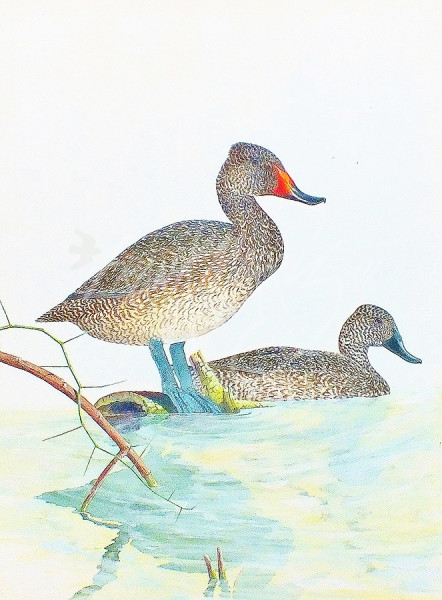 (283)	Freckled Ducks	81	x	61	cm