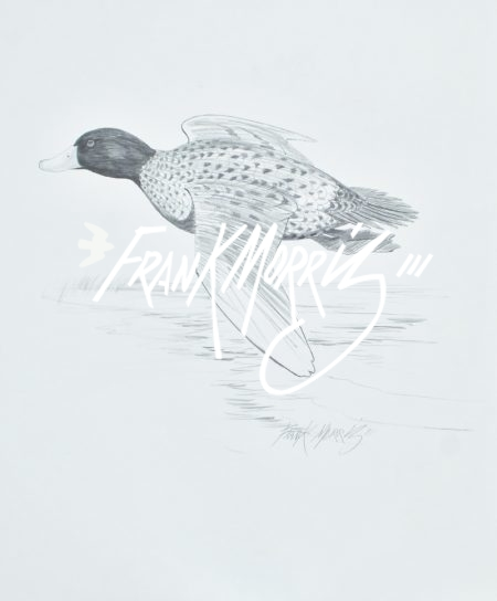 (YPC124) Blue-billed Duck 76x51 cm $180