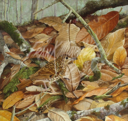 (Y394) On the Forest Floor (Ground Thrush) 40 x 43 cm