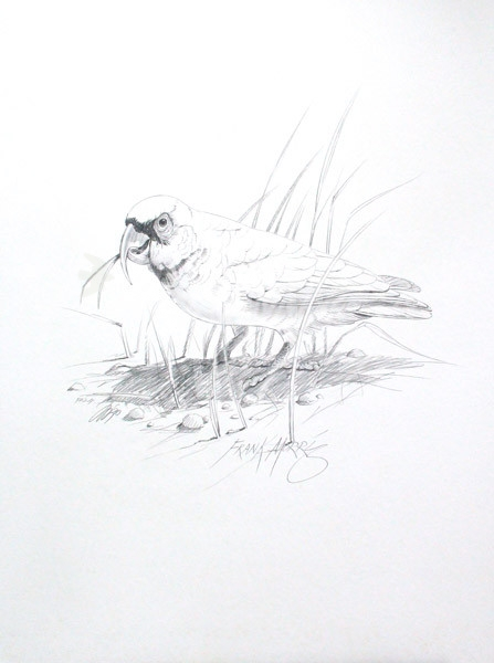 (PD24) Long-billed Corella 76 x 51 cm