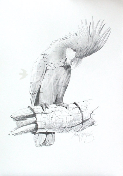 (PD20) Palm Cockatoo 74 x 51 cm