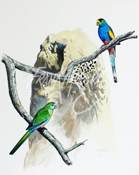 (Y355)Golden-Shouldered Parrots70x50cm