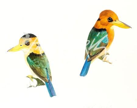 (SKJ91)Yellow-Billed Kingfishers30x35cm